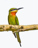 Green bee eater. Portrait of Green bee eater against white background Stock Image