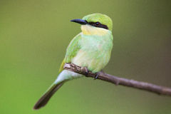 Green bee eater portrait Stock Photography