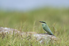 Green bee-eater in Pottuvil, Sri Lanka Stock Photography