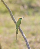 Green bee-eater resting on tree branch. With blurred  background, Goa India Stock Photo