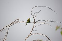 Green bee-eater. sitting alone on stem of thrtons. stock image