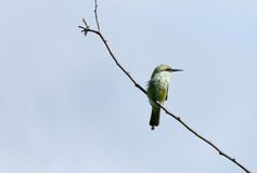 Green bee-eater Stock Images