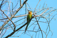 GREEN BEE EATER Stock Photography