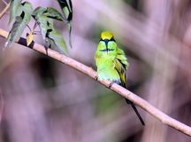 Green bee-eater Royalty Free Stock Image