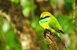 Green bee-eater, Sri Lanka Royalty Free Stock Photos