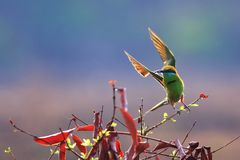 Green Bee-eater take off royalty free stock images
