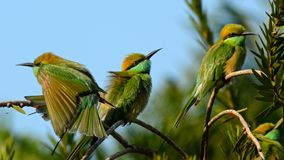 Green bee-eater. Three green bee-eaters sitting on bottle brush tree soaking in early morning sun Stock Image