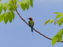 Green Bee - eater Stock Photography