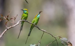 Pair of Green Bee Eaters. Green Bee Eaters hunting bees - on a lovely morning stock photography