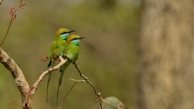 Pair of Green Bee Eaters stock photography