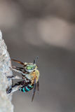 Green Bee. Eating on stone in nature royalty free stock images