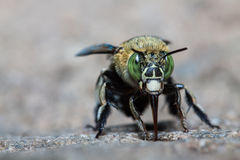 Green bee. Eating on stone in nature royalty free stock photo