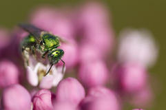 Green bee on pink flowers.  Stock Photo