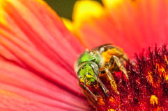 Green bee on a red flower.  Royalty Free Stock Images