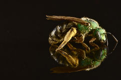 Green bee with reflection isolated on black Stock Photography