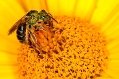 Green bee on yellow flower. A green bee collecting pollen from a yellow flower Stock Photography