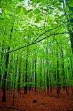 Green beech forest Royalty Free Stock Photography