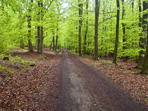 Green beech forest Royalty Free Stock Photo