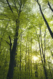 Green beech forest Royalty Free Stock Images