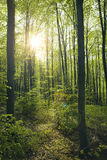 Green beech forest Royalty Free Stock Photos