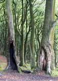 Green beech forest woodland with old split hollow trees. Summer green leaves and dark ground Stock Photo