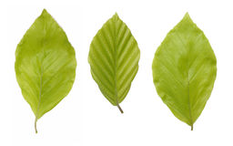 Green beech leaves Stock Photo