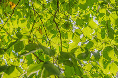 Green beech leaves Royalty Free Stock Photography