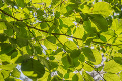 Green beech leaves Royalty Free Stock Photo