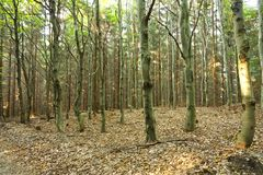 Green beech tree forest Royalty Free Stock Image