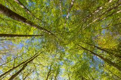 Green beech trees top in forest royalty free stock photo