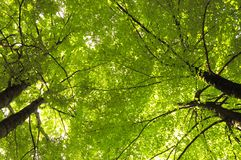 Green beech. Treetop of green beech in spring royalty free stock photos