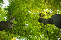 The green beeches trees. Top Royalty Free Stock Photos