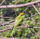 Green beeeater royalty free stock photo