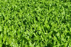 Green beet cabbage Royalty Free Stock Photography