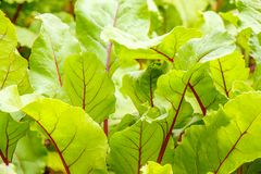 Green beet leaves with red veins stock photo