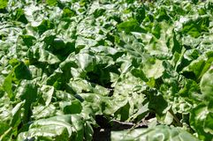 Green beet tops on the agricultural field, sugar beets on the field. Close-up stock photo