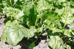Green beet tops on the agricultural field, sugar beets on the field. Close-up royalty free stock images