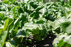Green beet tops on the agricultural field, sugar beets on the field. Close-up stock photos