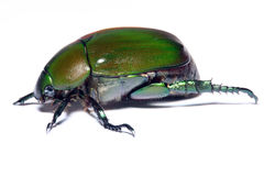 Green Beetle stock photo