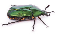 Green beetle Royalty Free Stock Photo