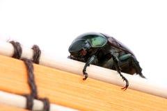 Green Beetle (Anomala albopilosa) Royalty Free Stock Photo
