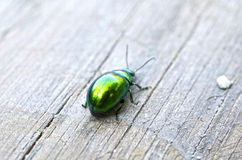 Green beetle Stock Image