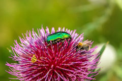 Green beetle and bees Royalty Free Stock Photography