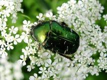Green beetle. Big green beetle on white flower Stock Photo