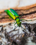 Green beetle on a birch stump Stock Photos