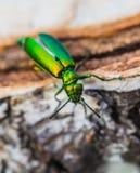 Green beetle on a birch stump Stock Photos