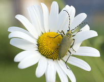Green beetle on the camomile Stock Image