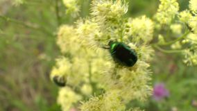 Green beetle Cetonia aurata on flower bloom stock video footage