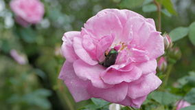 Green Beetle Cetonia Aurata On The Rose stock video footage