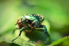 Green beetle, Chafer, macro photo Stock Image